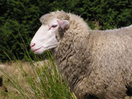 A sheep: safe from Shearer's clutches for now